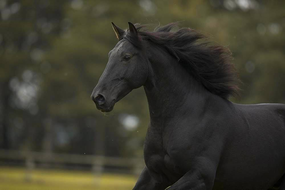 P.R.E. black horse in portrait in motion in autumn, Traventhal, Germany, Europe