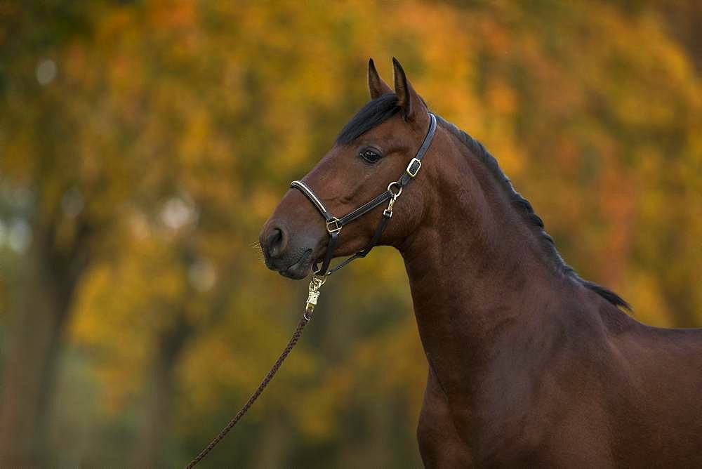 Portrait of a young bay P.R.E. stallion in autumn, Traventhal, Germany, Europe