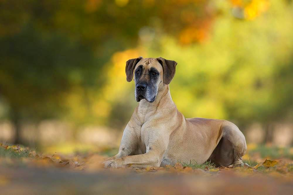 Great Dane in autumn, Traventhal, Germany, Europe