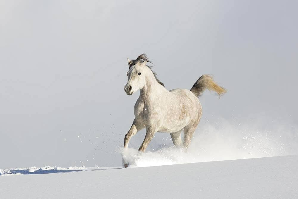 Thoroughbred Arabian mare grey in snow, Tyrol, Austria, Europe