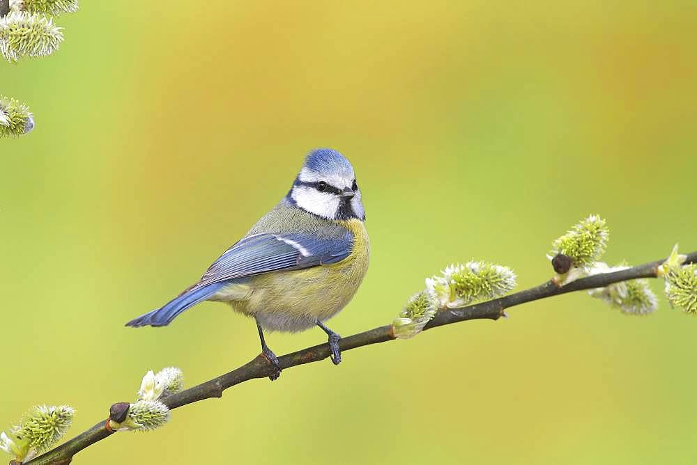 Blue tit (Parus caeruleus), sitting on Goat willow (Salix caprea) branch, Siegerland, North Rhine-Westphalia, Germany, Europe