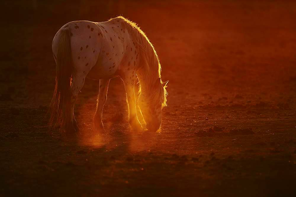 Appaloosa horse in backlight at sunset, Camargue, France, Europe