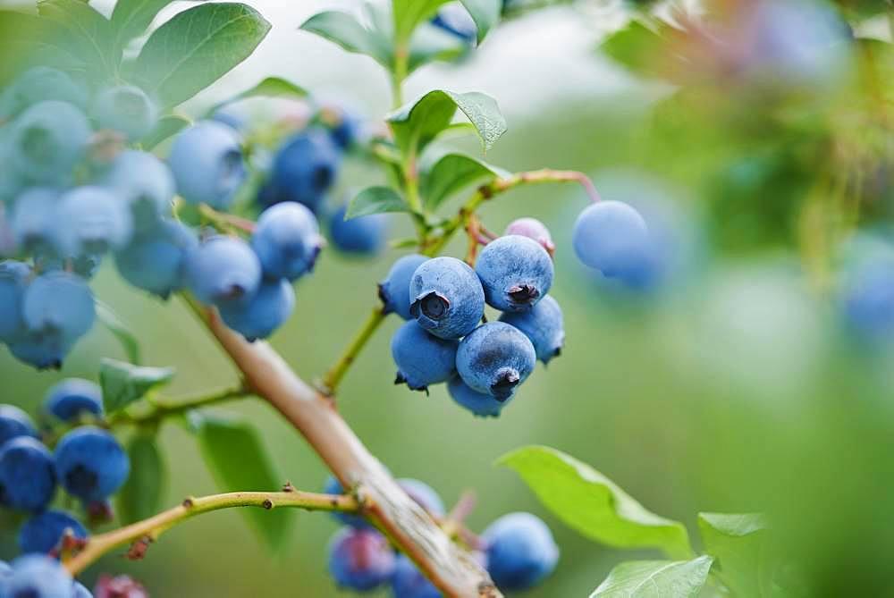 Ripe northern highbush blueberry (Vaccinium corymbosum), Germany, Europe