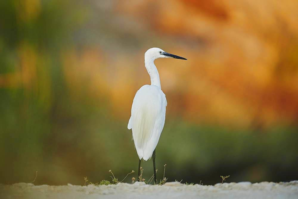 Little egret (Egretta garzetta), Parc Naturel Regional de Camargue, France, Europe