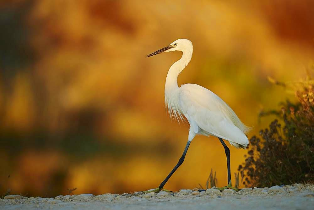 Little egret (Egretta garzetta) walking, Parc Naturel Regional de Camargue, France, Europe
