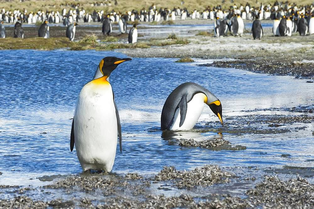 Two King Penguins (Aptenodytes patagonicus) crossing a stream, Salisbury Plains, South Georgia, Antarctic
