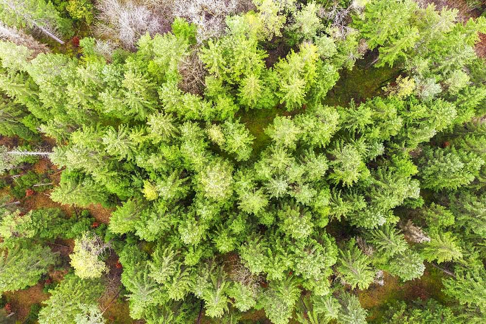 Coniferous forest from above, near Geretsried, drone photograph, Upper Bavaria, Bavaria, Germany, Europe