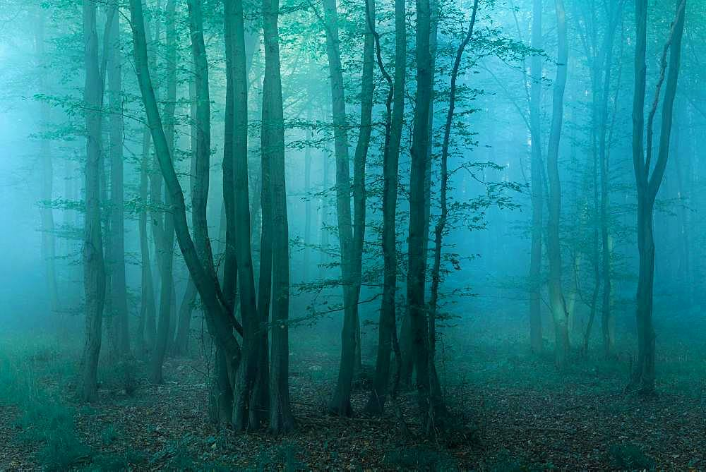 Mysterious dark forest with fog at dawn, near Freyburg, Burgenlandkreis, Saxony-Anhalt, Germany, Europe