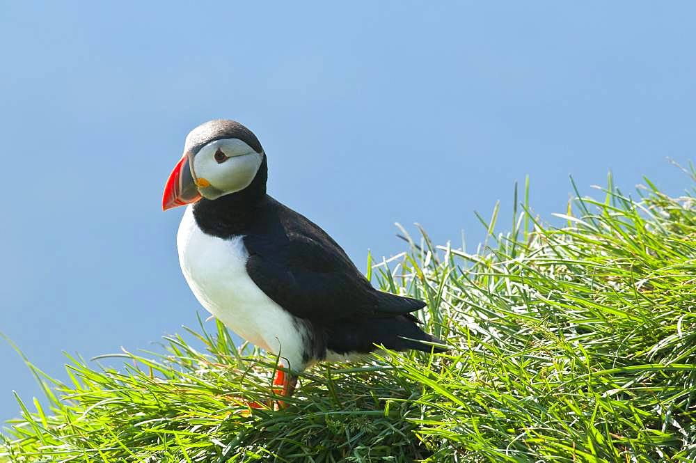 Puffin (Fratercula arctica), standing in the grass on cliff, Iceland, Europe