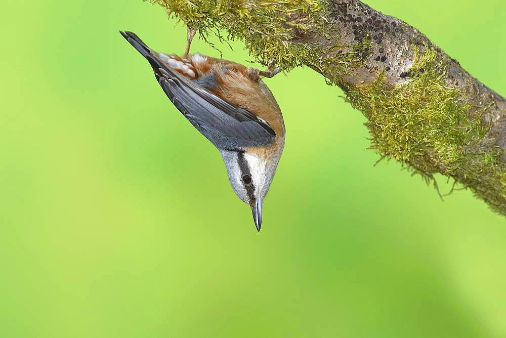 Eurasian nuthatch (Sitta europaea) hanging upside down on a mossy branch, Siegerland, North Rhine-Westphalia, Germany, Europe