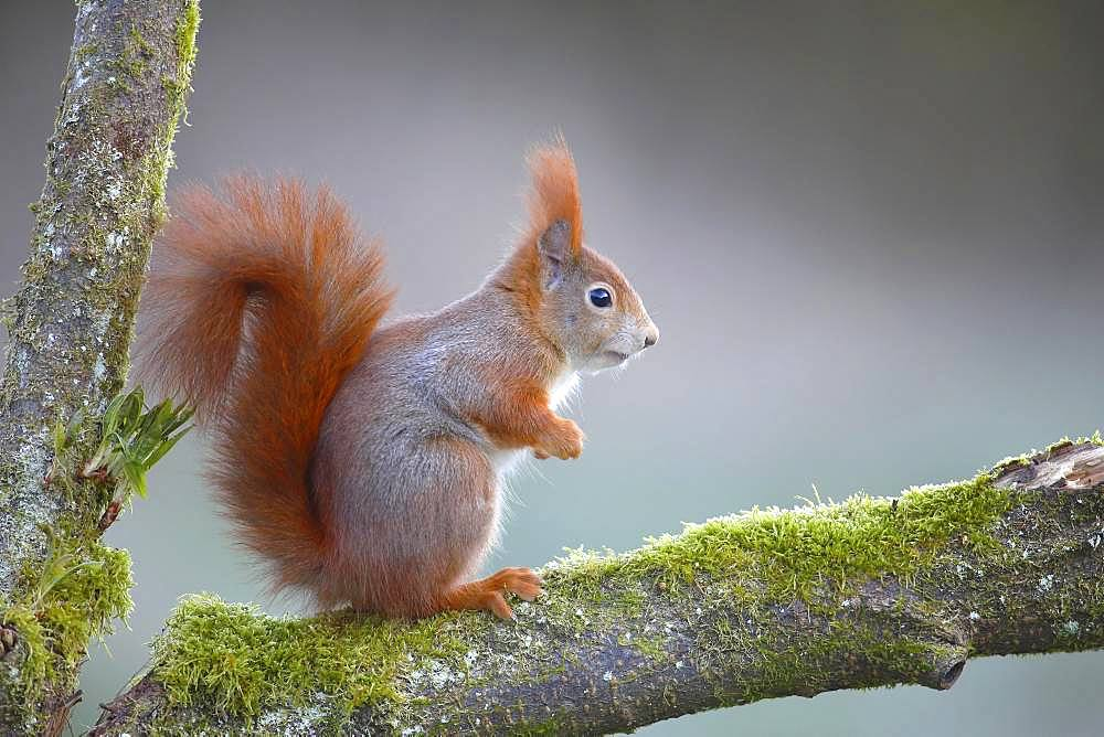 Eurasian red squirrel (Sciurus vulgaris), sitting in a branch fork,North Rhine-Westphalia, Germany, Europe