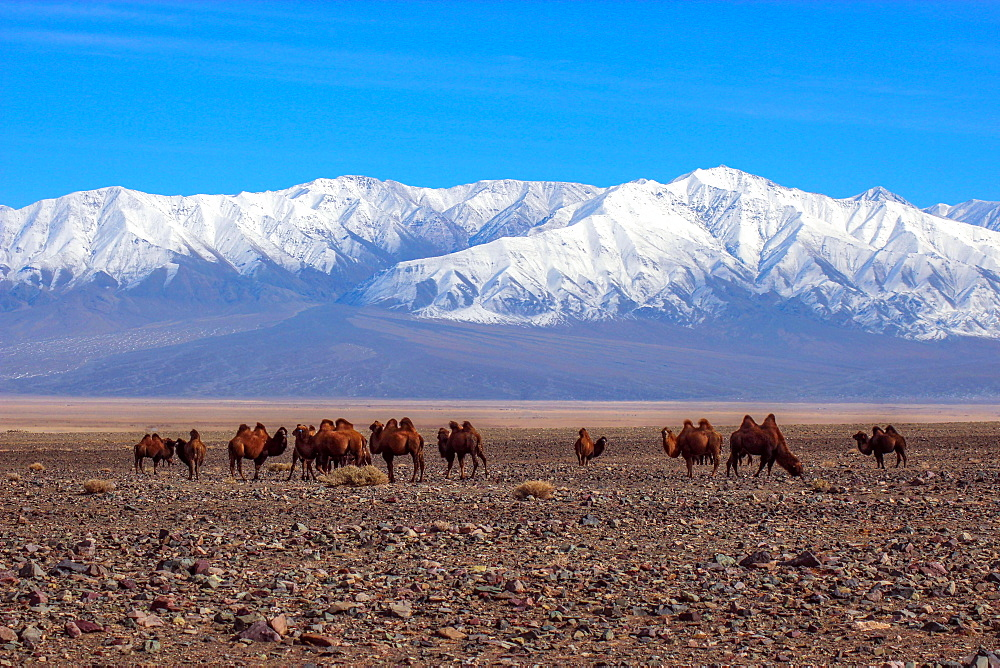 Bactrian camels (Camelus bactrianus) in Mongolian steppe, back snow-covered mountain Jargalant, Khovd Province Mongolia
