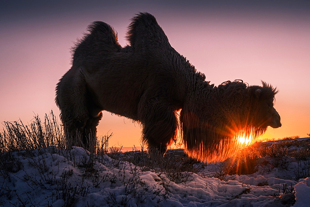 Male Bactrian camel (Camelus bactrianus) in the rising sun, Omnogobi Province, Mongolia, Asia