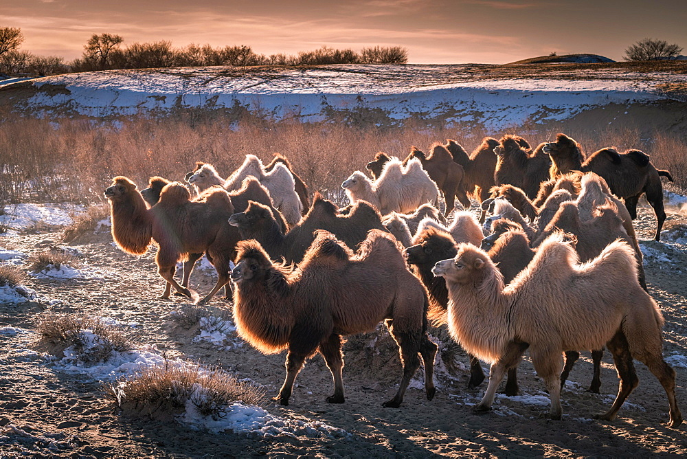 Herd of camels, Bactrian camels (Camelus bactrianus) run in winter in the Gobi Desert, Oemnoe-Gobi-Aimag, Mongolia, Asia