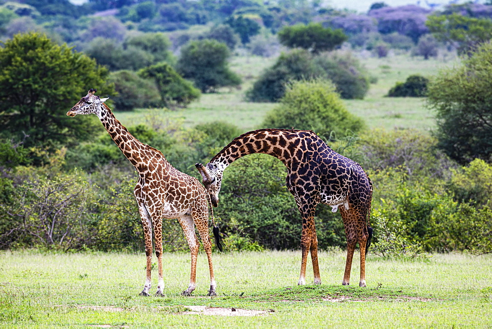 Masai giraffes (Giraffa camelopardalis tippelskirchi), animal pair, mating behaviour, Serengeti National Park, Tanzania, Africa