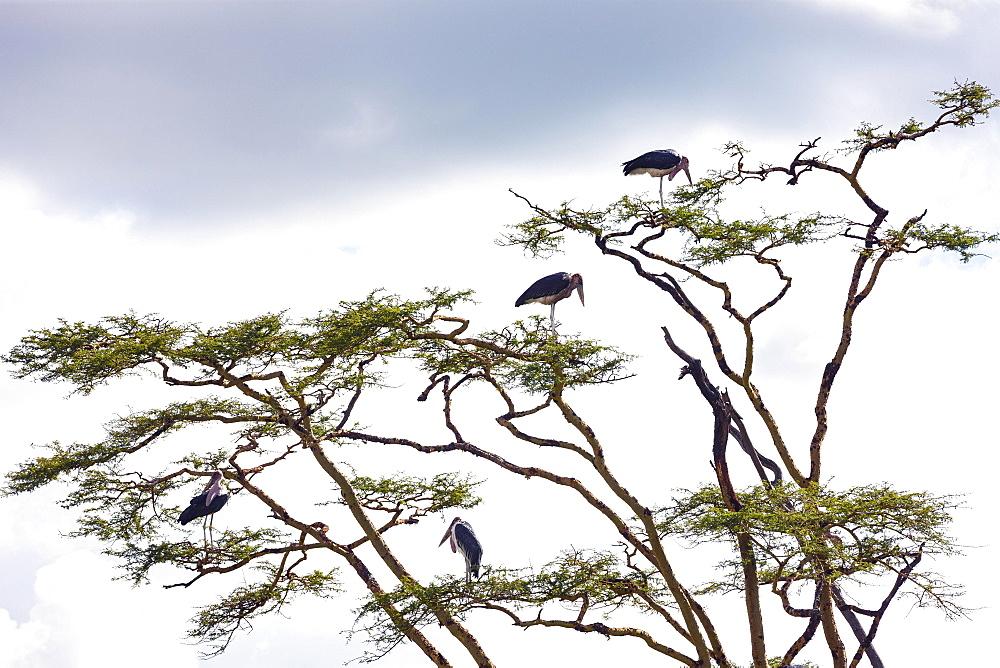 Marabou storks (Leptoptilos crumeniferus) standing in a gnarled tree, Serengeti National Park, Tanzania, Africa
