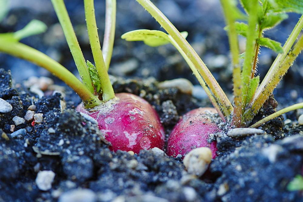 Red radish (Raphanus sativus var. sativus) in a garden, Upper Palatinate, Bavaria, Germany, Europe