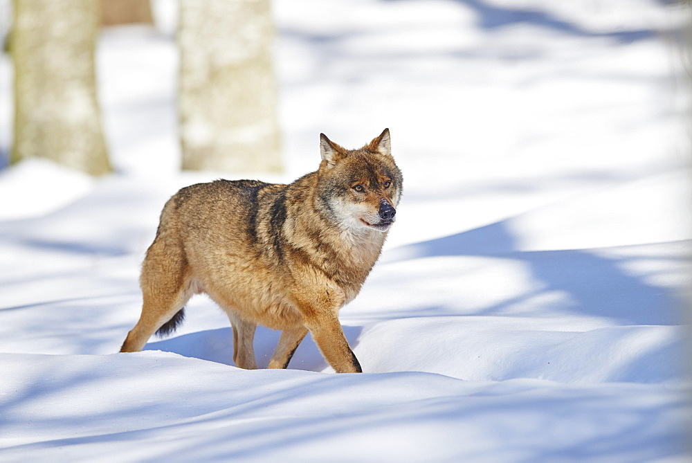 Eurasian wolf (Canis lupus lupus) running in snow, Bavarian Forest National Park, Bavaria, Germany, Europe
