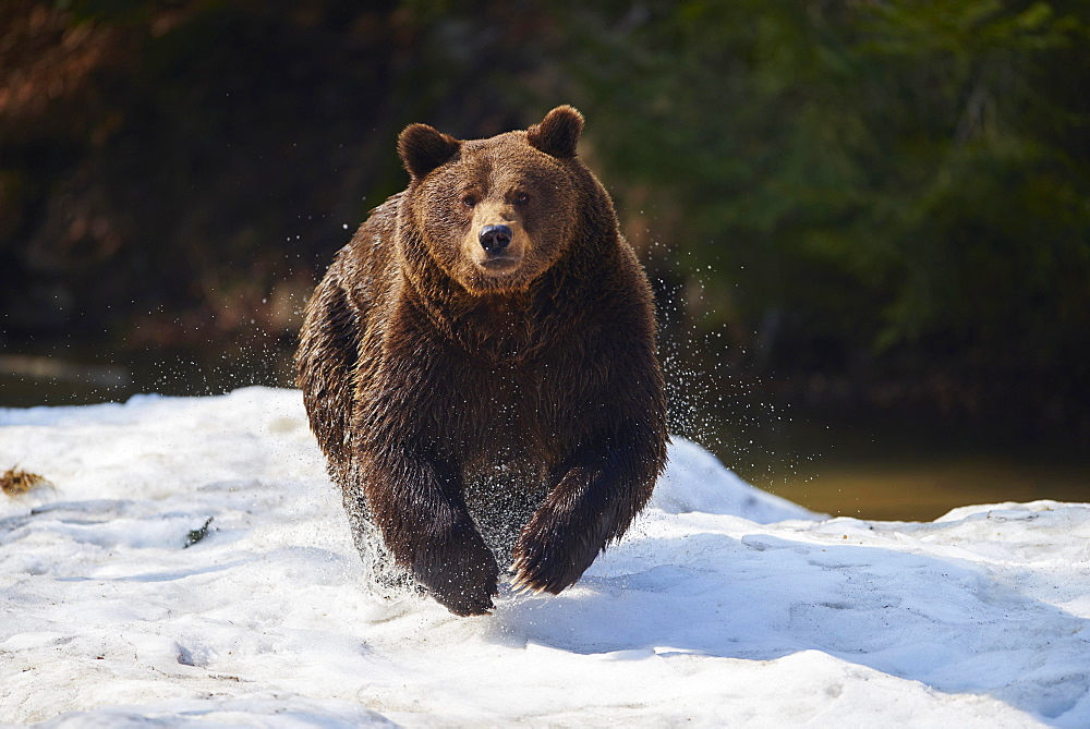 Brown bear (Ursus arctos) in snow, Bavarian Forest National Park, Bavaria, Germany, Europe