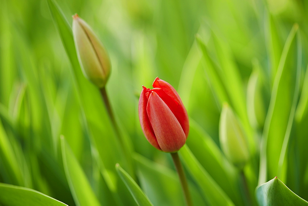 Red tulips (tulipa) blooming in a garden, Upper Palatinate, Bavaria, Germany, Europe