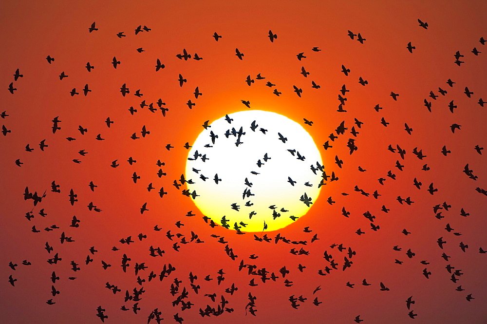 Flock of birds flying in front of setting sun, pigeons, Baden-Wuerttemberg, Germany, Europe