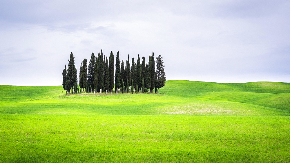 Group of trees Cypresses (Cupressus) in the green field, near San Quirico d'Orcia, Val d'Orcia, Tuscany, Italy, Europe
