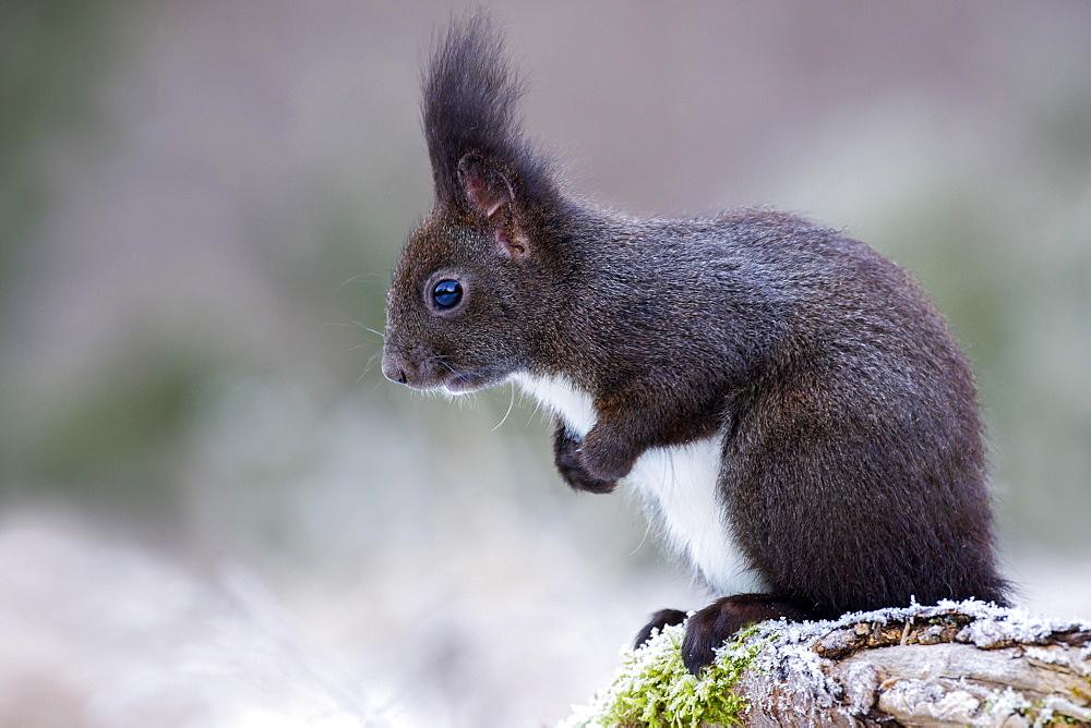 Eurasian red squirrel (Sciurus vulgaris) sits curiously on a root, Tyrol, Austria, Europe