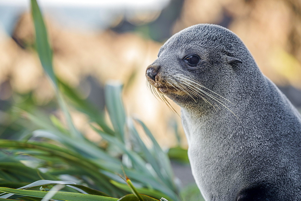Young animal, New Zealand fur seal (Arctocephalus forsteri), portrait, Cape Palliser, Wellington region, North Island, New Zealand, Oceania