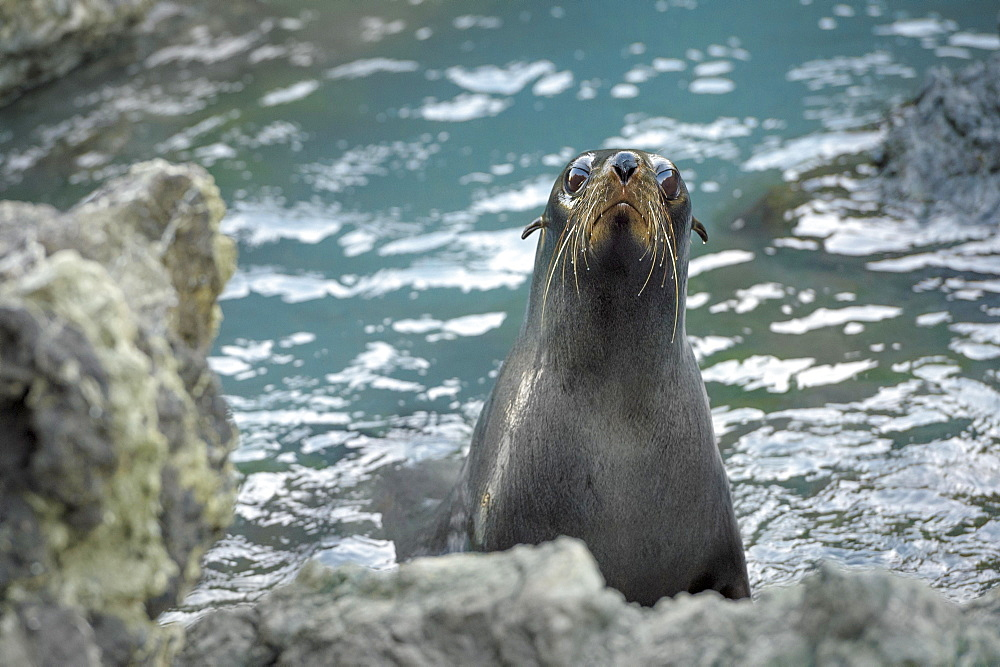 New Zealand fur seal (Arctocephalus forsteri) on rocky coast, Cape Palliser, Wellington region, North Island, New Zealand, Oceania