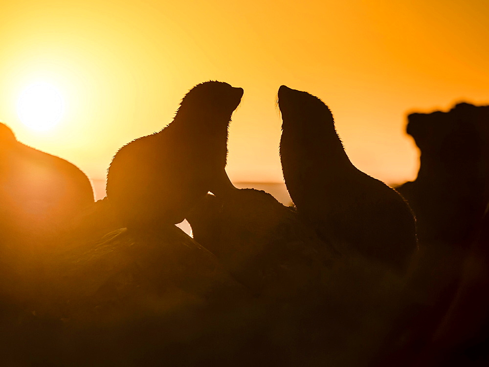 Silhouette of two New Zealand fur seals in backlight at sunset, ear seals, dwarf fur seals, fur seals (Arctocephalus pusillus), Cape Palliser, Wellington region, New Zealand, Oceania