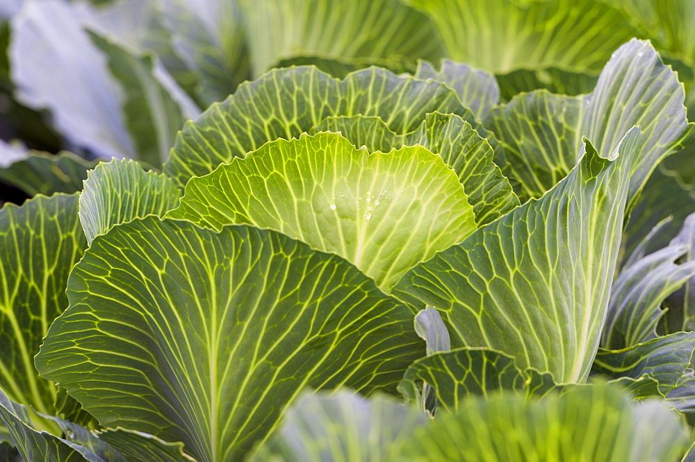 White cabbage (Brassica oleracea), Field, Baden-Wuerttemberg, Germany, Europe