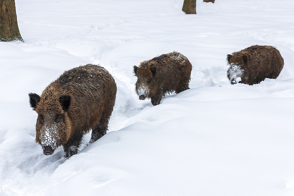 Wild boars (Sus scrofa) in snow, Baden-Wuerttemberg, Germany, Europe