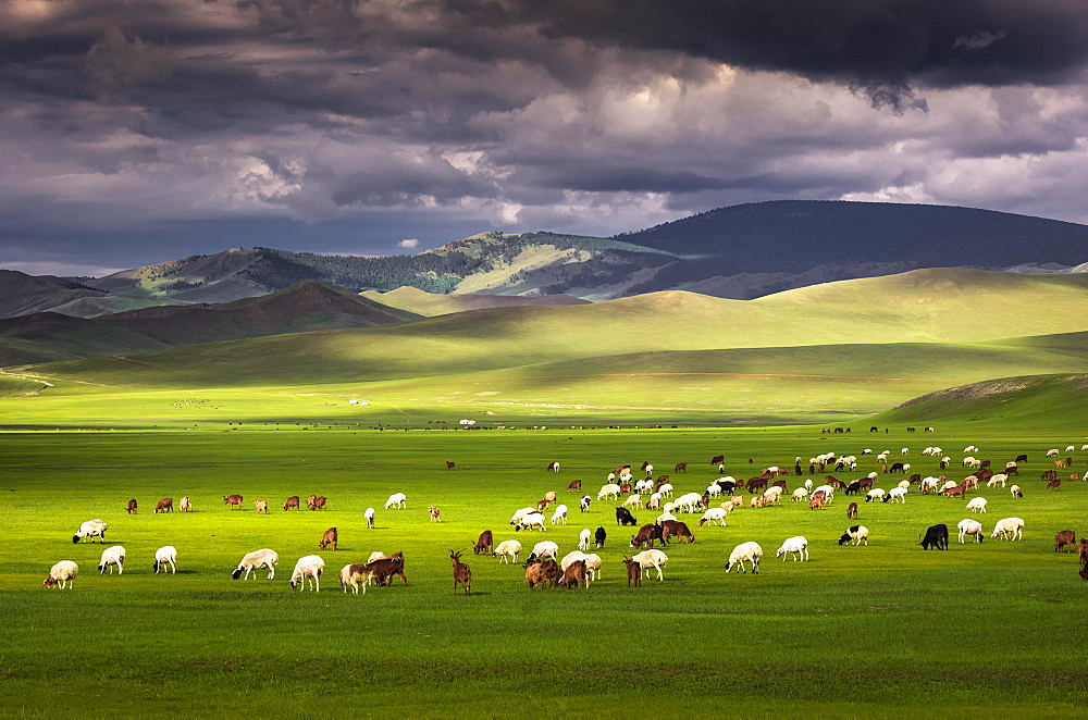 Flock of sheep Sheep grazing on the green pastures in front of the mountains, Huvsgul Province, Mongolia, Asia