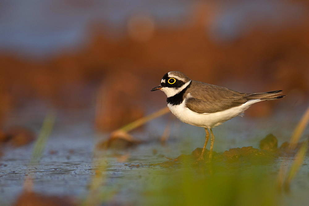 Little ringed plover (Charadrius dubius) stands in shallow water, Rhineland-Palatinate, Germany, Europe