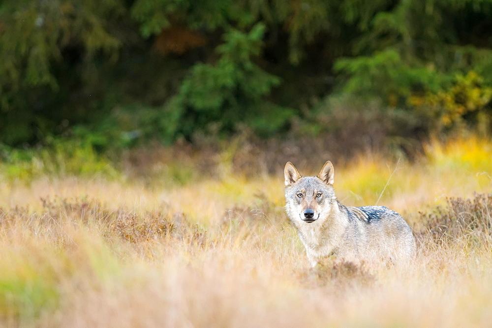 Wolf (canus lupus) in clearing, captive, Bohemian Forest, Czech Republic, Europe - 832-387918
