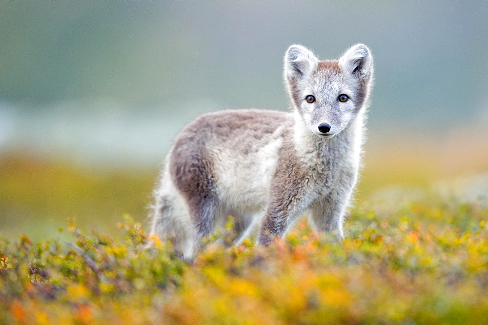 Arctic fox (alopex lagopus), autumn, Dovrefjell, Norway, Europe