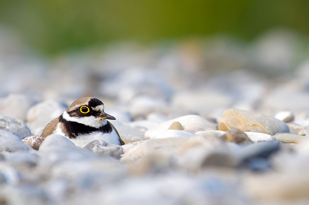Brooding Little ringed plover (Charadrius dubius) on gravel bank, Bavaria, Germany, Europe