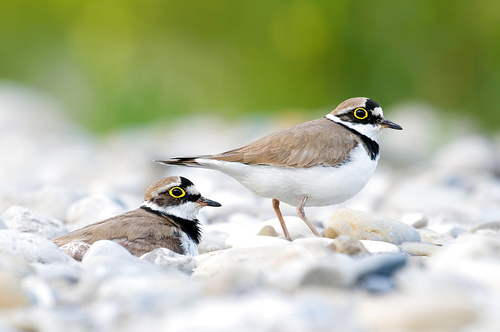 Breeding bird pair, Little ringed plover (Charadrius dubius) on gravel bank, Bavaria, Germany, Europe