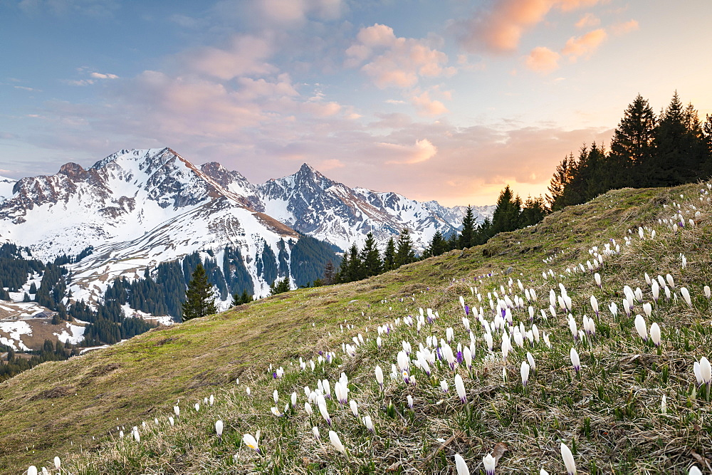 Blossoming crocus meadow near Gurnigelpass, Bernese Alps, Gantrisch, Berg Ochsen, Bernese Oberland, Canton Bern, Switzerland, Europe
