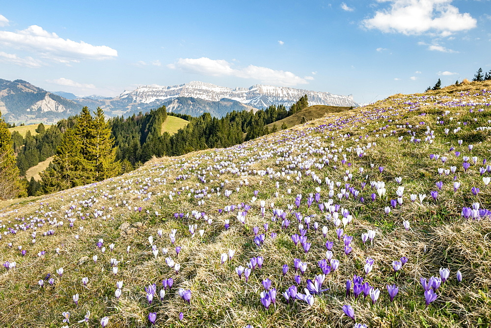 Meadow with flowering purple Crocus (Crocus), mountain landscape, Raemisgummen, Emmental, Canton Bern, Switzerland, Europe