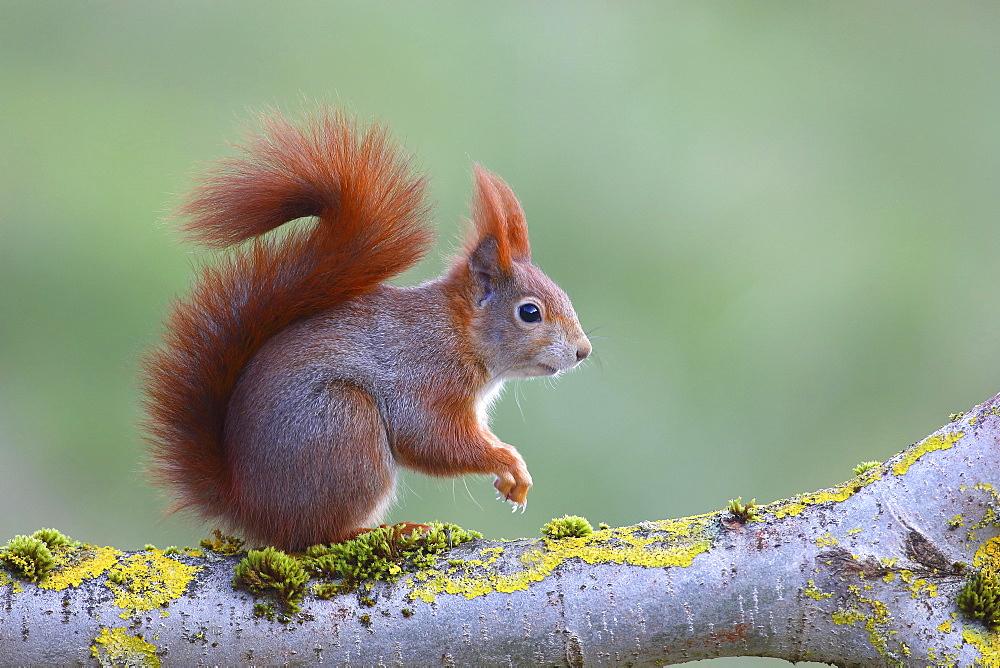 Eurasian red squirrel (Sciurus vulgaris) sitting on a lichen-covered branch, North Rhine-Westphalia, Germany, Europe