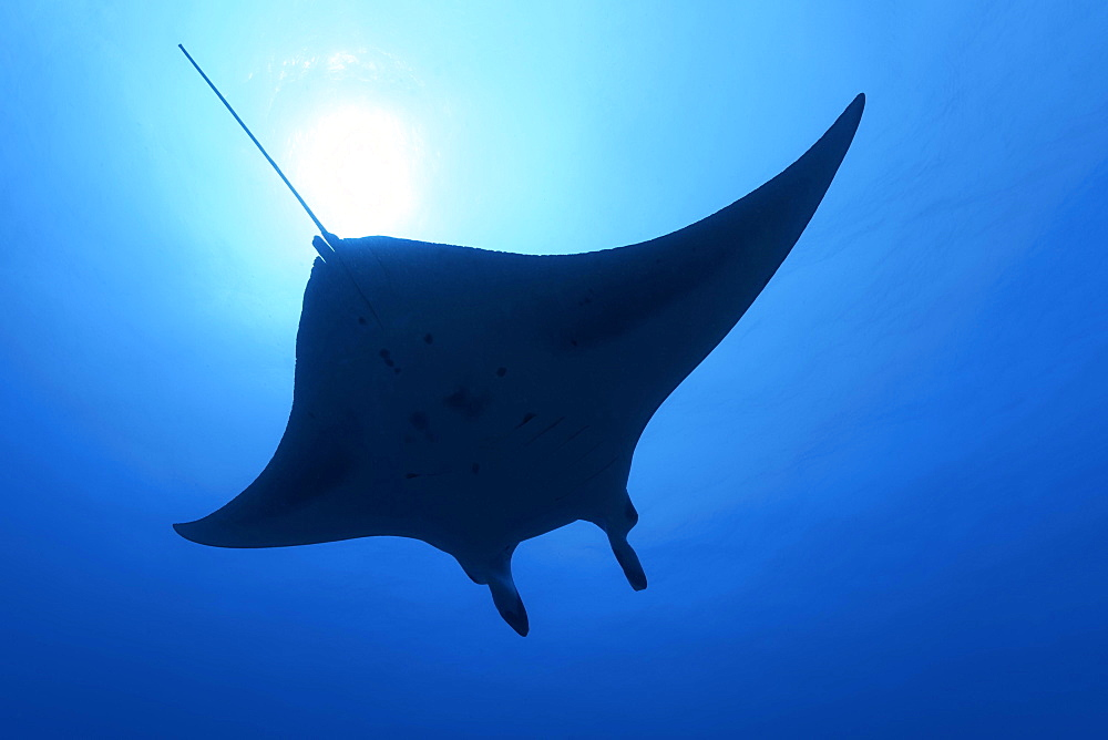 Reef manta ray (Mobula alfredi), silhouette, swimming in blue water, back light, Great Barrier Reef, Coral Sea, Pacific Ocean, Australia, Oceania
