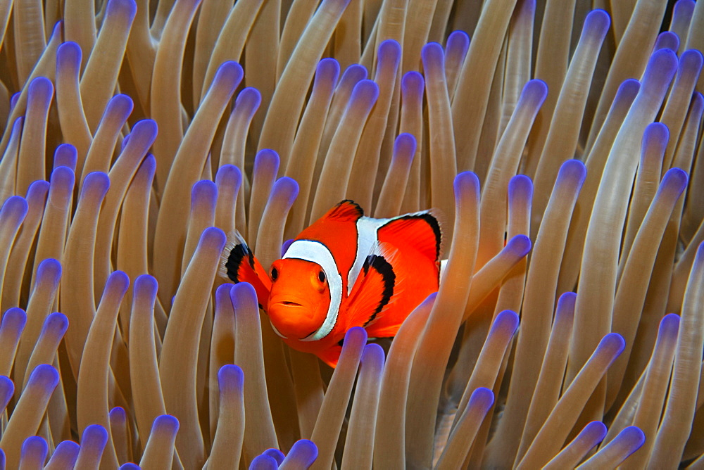 Ocellaris Clownfish (Amphiprion ocellaris) in Magnificent sea anemone (Heteractis magnifica), Great Barrier Reef, Coral Sea, Pacific Ocean, Australia, Oceania