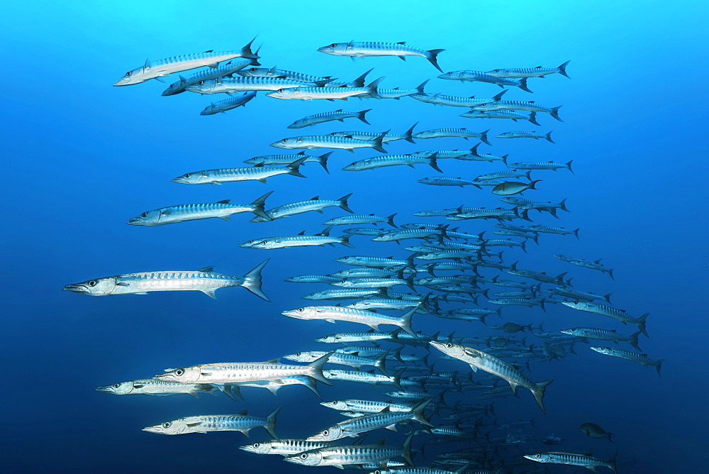 Swarm of fish Blackfin barracudas (Sphyraena qenie), swimming in blue water, Great Barrier Reef, Unesco World Heritage, Coral Sea, Pacific Ocean, Australia, Oceania