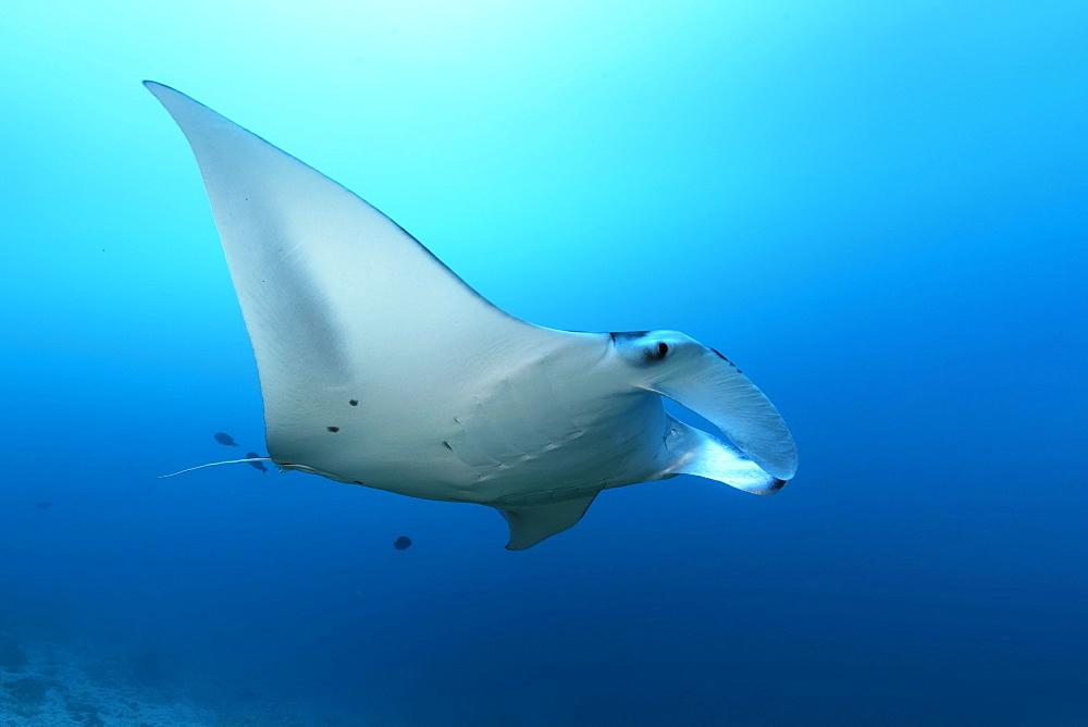 Reef manta ray (Mobula alfredi) swim with open head fins in blue water, Great Barrier Reef, Unesco World Heritage, Coral Sea, Pacific Ocean, Australia, Oceania