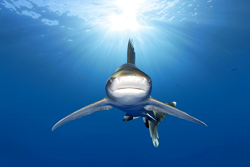 Oceanic whitetip shark (Carcharhinus longimanus) from front, back light, Great Barrier Reef, Unesco World Heritage, Coral Sea, Pacific, Australia, Oceania