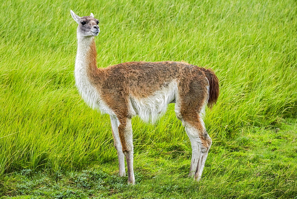 Guanaco (Llama guanicoe), stands on green grass, Torres del Paine National Park, Region de Magallanes y de la Antartica Chilena, Patagonia, Chile, South America