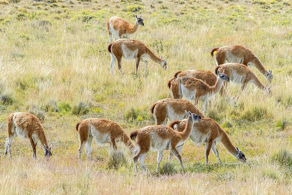 Guanacos (Llama guanicoe), Herd grazing in the field, Torres del Paine National Park, Region de Magallanes y de la Antartica Chilena, Patagonia, Chile, South America