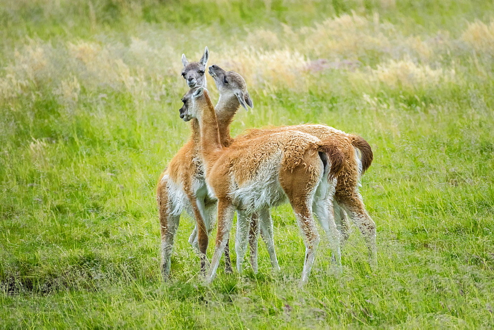 Guanaco (Llama guanicoe), three animals in playful combat, Torres del Paine National Park, Region de Magallanes y de la Antartica Chilena, Patagonia, Chile, South America