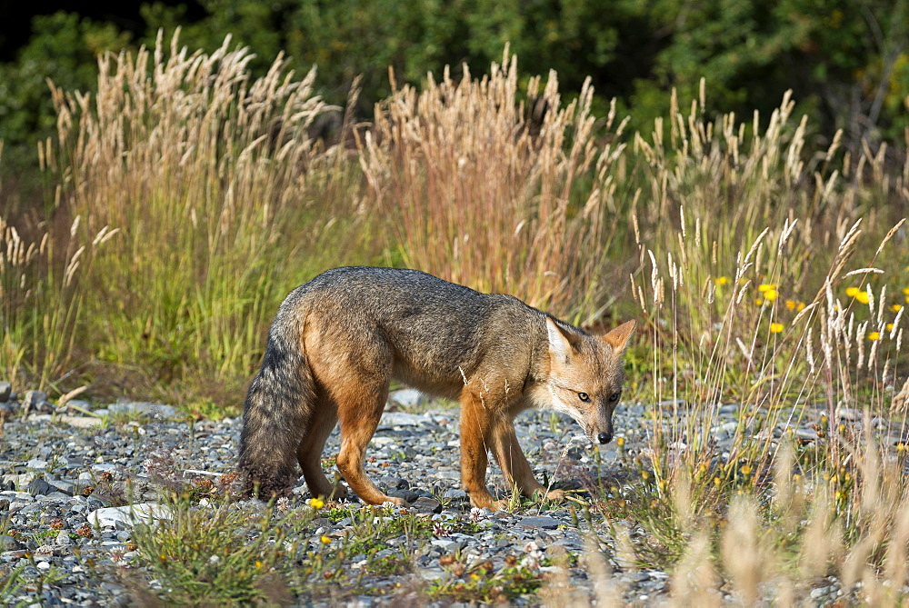 Andean fox (Lycalopex culpaeus) also , Torres del Paine National Park, Patagonia, Region de Magallanes y de la Antartica Chilena, Chile, South America